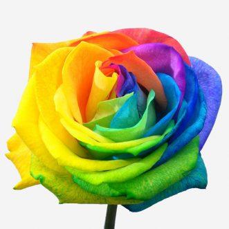 Радужные розы поштучно