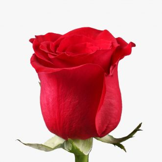 Голландские розы поштучно